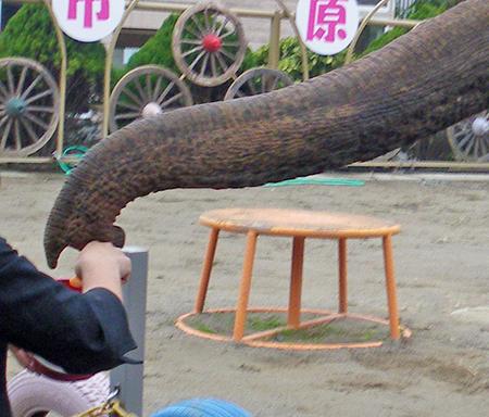 市原ぞうの国 アジアゾウ ゾウの鼻先.jpg