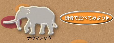 ナウマンゾウ、アフリカゾウ、ケナガマンモスを頭骨で比べてみよう