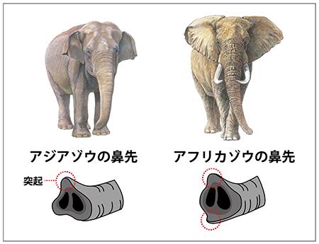 アフリカゾウ アジアゾウ ゾウの鼻
